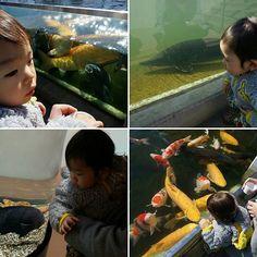 【yusuke_kajiyama】さんのInstagramをピンしています。 《さいたま水族館  火災による被害で完全営業ではないですが😢💦 それでも入場料が大人100円で淡水魚の展示と鯉や草魚・連魚への餌やりなどかなり満足できました✨ 息子も楽しんでくれたみたいです😄⤴⤴ 4月頃に完全営業を目指してるようです✨ 早く復活して欲しい❗  それにしても息子の魚へのリアクションが素晴らしい(笑) これからも英才教育は継続だな😁⤴⤴ #子育て#育児#男の子#ボーイ#boy#魚#fish#水族館 #アクアリウム#aquarium#さいたま水族館#水槽#錦鯉#nishikigoi#餌やり#淡水魚#淡水#fleshwater#餌の料金は50円#楽しい#ファミリー#family#また行きたい#リピーター#ムジナモ#この近くの溜め池で釣りしてたら野犬2匹に追われた》