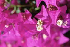 Add a colorful flair to your outdoor patio or indoor decor by growing a bougainvillea bonsai. Bougainvilleas are tropical plants that produce bright red, orange, purple, white or pink papery flowers. Their vine-like branches can be pruned and shaped into a living work of art that reflects your style and lends an air of personality to your home.