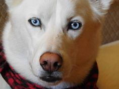 Kumori by Carol-Moore on DeviantArt Carol Moore, White Siberian Husky, To My Daughter, Deviantart, Dogs, Animals, Animales, Animaux, Doggies