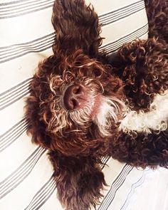 Sleep well #spanischer Wasserhund #marfa #dogsleeping #tiefschlaf #goodnight Dreadlocks, Hair Styles, Beauty, Instagram, Spanish Water Dog, Slow Wave Sleep, Waves, Hair Plait Styles, Hair Makeup