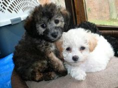 Black and White Toy Poodle Pups.They are such beautiful pets.