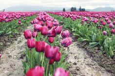 #skagitvalleytulipfestival #tulips #skagitvalley #pnw #northwest #washington