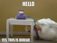 Yes, this is budgie.