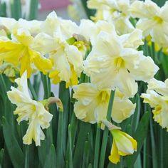 Narzisse 'Cassata' wechselt während ihrer Blüte ihre Farbe von einem frischen Gelb zu Schneeweiß, bleibt aber weiterhin sehr attraktiv. Pflanzzeit ist im Herbst - online bestellbar bei www.fluwel.de