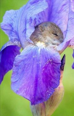 Harvest Mouse napping in an Iris. - Margit Kurray - Harvest Mouse napping in an Iris. Harvest Mouse napping in an Iris. Cute Creatures, Beautiful Creatures, Animals Beautiful, Cute Funny Animals, Cute Baby Animals, Nature Animals, Animals And Pets, Wild Animals, Harvest Mouse