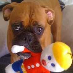 Oh Noooo, Mr. It's the chomping Boxer jaws! Boxer And Baby, Boxer Love, Boxers, I Love Dogs, Cute Dogs, Boxer Bulldog, Dog Photos, Dog Life, Funny Dogs