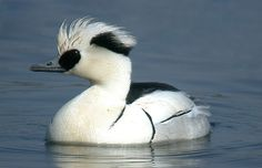 Hey, I have a pre-sale offer for a pair of Smew Duck.
