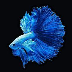 Pretty Fish, Cool Fish, Beautiful Fish, Colorful Fish, Tropical Fish, Betta Fish Types, Underwater Animals, Beautiful Sea Creatures, Watercolor Fish