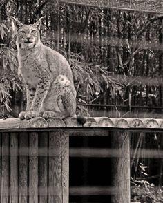 #charentemaritime #zoo #lapalmyre #lynx
