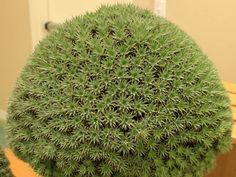 Deuterocohnia brevifolia → Plant characteristics and more photos at: http://www.worldofsucculents.com/?p=2691