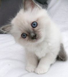 Blue eyed beauty - my favorite kind of kitty. <3