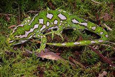 Northland Green Gecko, Nautilus gemmus, NZ