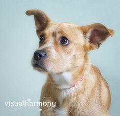 Petfinder  Adoptable | Dog | Border Terrier | Phoenix, AZ | Jenny