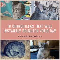 10 Chinchillas That Will Instantly Brighten Your Day