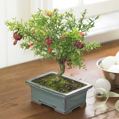 mini pomegranate tree in greenhouse