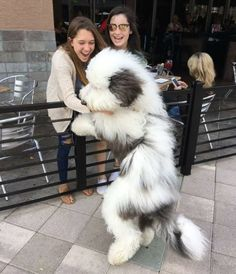 Girls loving this huge fluffy Sheepadoodle http://ift.tt/2h8flfs