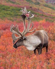 Reindeer               ________