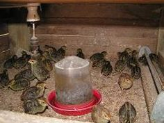 Tips on caring for quail chicks indoors. I will add--put marbles in the drinking dish to prevent drowning.
