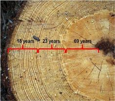 Annual growth rings of a 110-year-old-tree.  Light rings are spring/early summer growth and dark rings are late-summer growth.  During the first 69 years, this tree was growing in very crowded conditions and was lacking adequate water and light to grow well. At 69 years, tree density was thinned by cutting smaller, adjacent trees to give this tree more light and water, and growth started to improve.