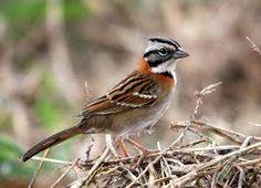 Ordem:  Passeriformes  SubOrdem:  Passeri  Parvordem:  Passerida  Família:  Passerellidae   A família Passerellidae abrange os Tico-Tic...