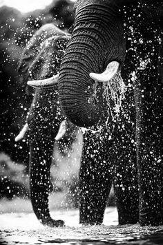 """Elefantes en libertad !!!! En su hábitat natural, como debe ser !! """"Tengo memoria de elefante. De hecho, los elefantes a menudo me consultan."""" Noël Co... - Marysol Abad - Google+"""