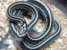 Tessera Anery Stripe Corn Snake