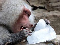 Los primates del #Zoológico de #Cali son los consentidos por las altas temperaturas. #CaliCo #OrgullodeCali