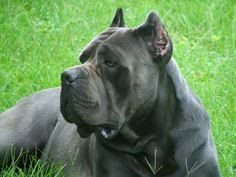 I want a dog. (This one is Saggio, a Cane Corso. Maybe one like this). :-)