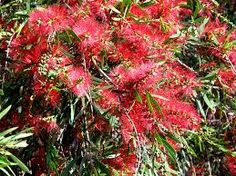 Wallum bottlebrush Melaleuca pachyphylla A common plant in wet heath ecosystems. This is a very hardy shrub for home gardens, growing to about 1.5m high in sun to part shade. Bright red or green flowers appear throughout the year.