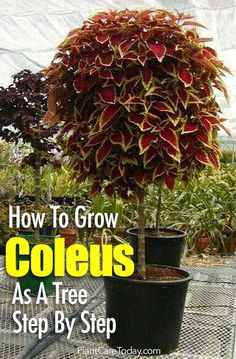 Topiary Grow the colorful coleus as a standard Coleus tree this season. We walk you through the steps to create your own Coleus topiary [LEARN MORE] Garden Yard Ideas, Lawn And Garden, Garden Projects, Garden Oasis, Backyard Ideas, Container Plants, Container Gardening, Organic Gardening, Gardening Tips