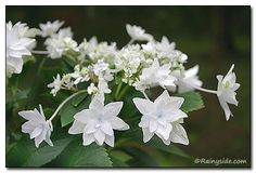 Shooting Star Lacecap Hydrangea zones 4-9. Can get up to 5' tall. Depending on zone, can tolerate full sun Like all hydrangeas prefers afternoon shade and a moist well-draining soil.