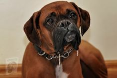 Boxer Pitbull, Boxer Dog Breed, Boxer Puppies, Police Dog Breeds, Police Dogs, Dog Training Classes, Dog Training Tips, Training Courses, Training Programs