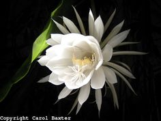 The flower on the Night Blooming Cereus (Epiphyllum oxypetalum) only lasts for one night.  You can enjoy the fragrance throughout the evening as the blossom opens.  In the morning, the bloom is totally closed and droops towards the ground.  A mature plant may only bloom once a year.