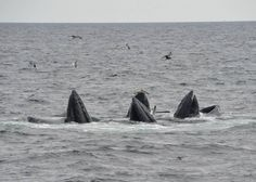 Group of 4 adult humpbacks feeding together!