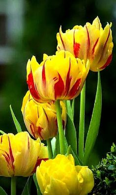 #Spring2016 - Google+ Tulips Garden, Tulips Flowers, All Flowers, Beautiful Flowers, Champs, Flower Phone Wallpaper, Pictures To Paint, Flower Arrangements, Exotic