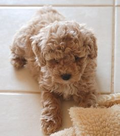 Labradoodle? Or Cuddle Buddy?
