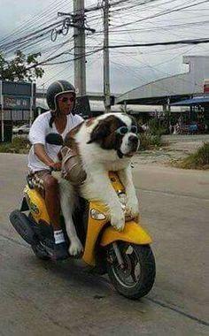 Saint Bernard going for a ride Funny Animal Pictures, Cute Funny Animals, Cute Baby Animals, Funny Dogs, Animals And Pets, Amor Animal, Mundo Animal, Big Dogs, I Love Dogs