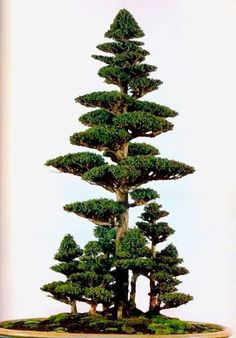 Indoor or Outside Ornamental Flowering Bonsai Timber Some bonsai timber like every other tree flower and produce fruit. A daily apple tree, for instan. Flowering Bonsai Tree, Bonsai Tree Types, Indoor Bonsai Tree, Indoor Trees, Bonsai Trees, Bonsai Forest, Bonsai Garden, Plantas Bonsai, Miniature Trees