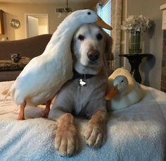 Mind Blowing Facts About Labrador Retrievers And Ideas. Amazing Facts About Labrador Retrievers And Ideas. Beautiful Creatures, Animals Beautiful, I Love Dogs, Cute Dogs, Animals And Pets, Baby Animals, Pet Ducks, Tier Fotos, Cute Funny Animals