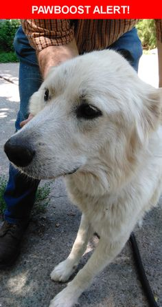 Is this your lost pet? Found in Nashville, TN 37218. Please spread the word so we can find the owner!  Miniature Yetti (aka Great Pyrenees) Found!!  Found on Clarksville Highway between Briley Parkway & Dry Fork Rd, Whites Creek, TN. If you recognize and know owners please have them contact the admin for Lost & Found Pets Joelton / Whites Creek / Bordeaux TN group page at 615-484-8977. No tags, No microchip. Proof of Ownership Required, must be able to identify collar, sex, spay/neutered and…
