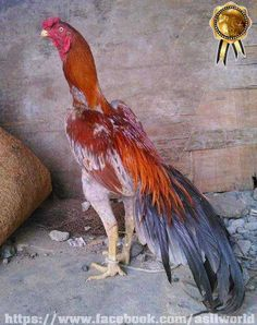 Beautiful Chickens, Beautiful Birds, Rooster Breeds, Live Chicken, Game Fowl, Chickens And Roosters, Chicken Breeds, Backyard Birds, Colorful Birds