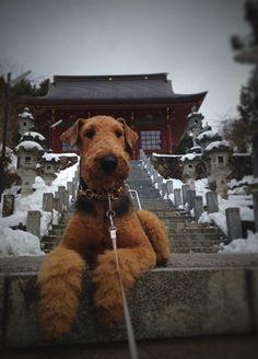 Resultado de imagen para 犬 welsh terrier ランニング
