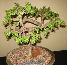 Good candidate for bonsai Elephant Bush, Elephant Food, Elephant Plant, Miniature Jade, Dwarf Jade, Spekboom, Small Leaf Jade (Portulacaria afra)