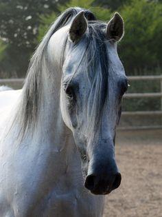 Stallions :: Georgian Arabians - Egatist - Owned by International Actors Susan George and Simon MacCorkindale
