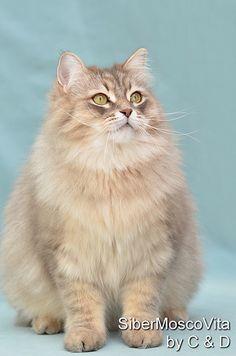 A beautiful Siberian Cat.