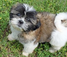 Revy-the-Shih-Tzu The Daily Puppy