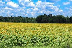 The Sunflower Field - Unskinny Boppy
