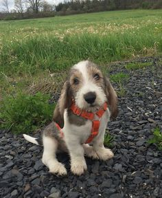 My name is Sebastian and I am a GBGV. A what you ask? A Grand Basset Griffon Vendeen. I am a French Scenthound. I am 11 weeks old and love playing with my sister Brandy who is a Redbone and Oscar, a wirehaired dachshund. I am learning how to do a bunch of Funny Dog Toys, Best Dog Toys, Wire Haired Dachshund, Dachshund Dog, Cute Baby Dogs, I Love Dogs, Kittens And Puppies, Cute Puppies, Griffon Dog
