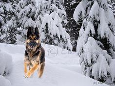 PHOTO CARD, German Shepherd, Dog, note card, dog decor, snow, trees, white, Ellen Strope, winter