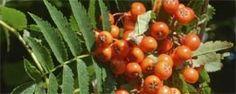 Edible hedging plants   Hedgerow receipe advice